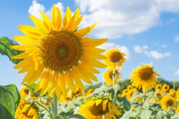 Sunflowers field and blue sky