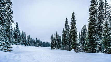 Wall Mural - Snow Covered Trees in the High Alpine Forest of the Shuswap Highlands of central British Columbia, Canada