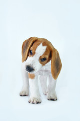 beagle puppy dogs