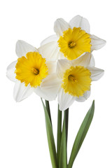Narcissus, daffodil, jonquil isolated on white background