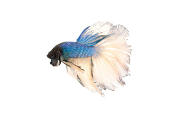 siamese fighting fish or betta splendens isolated on white background