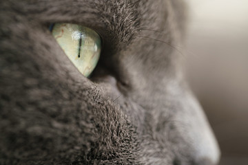 gray cat portrait close up photo, shallow focus