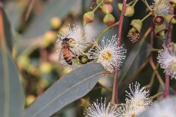 Bees are collecting eucalyptus nectar (honey).