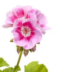 magenta geranium isolated