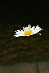 Blossom of Daisy
