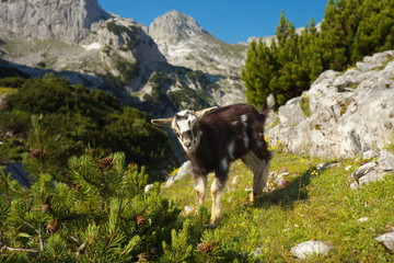 Young Goat on the Mountains