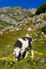 Young Goat on Pasture
