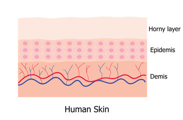 Human skin layer  infographic