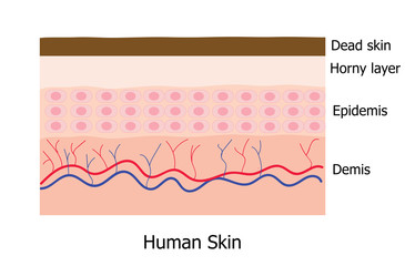 Human skin layer with dead cell  infographic