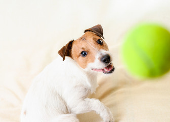 Funny terrier dog playing and catching ball indoor