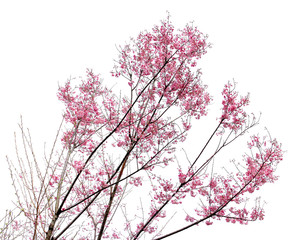 Full bloom sakura flower isolated (Cherry blossom)