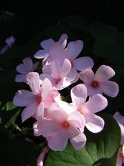 Oxalis acetosella rosea