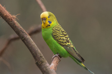 Beautiful small green parrots at display in open resort, Germany