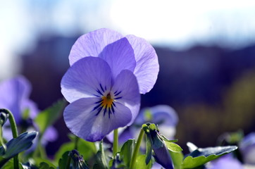 Closeup shot of  beautiful violet purple pansy flowers