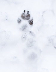 Dog footprints in the snow on the nature
