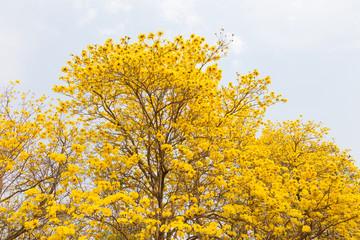 Golden Trumpet trees