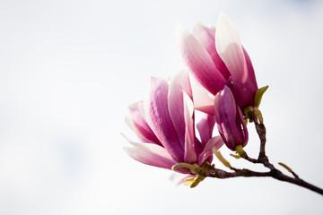 Saucer magnolia (Magnolia x soulangeana).