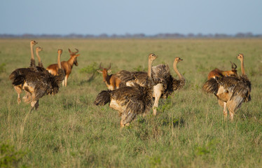 A herd of African ostriches on green savanna