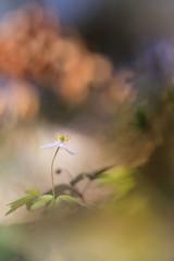 White wood anemone flowers