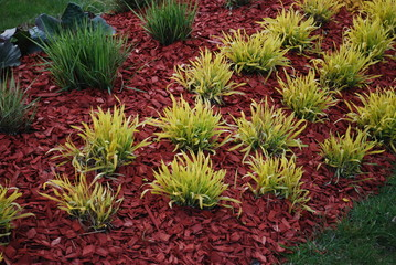 Molinia caerulea 'Variegata' on the flower bed, sprinkler with red dyed mulch. Ornamental plants for landscaping.