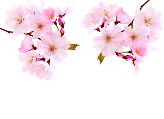 Cherry Blossoms.  Cherry  spring pink flowers.