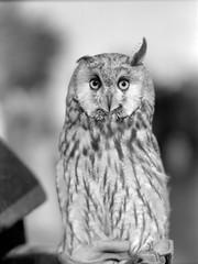 Eurasian Eagle-owl. Black and white close up portrait. Retro film