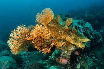 Colourful reefscape with gorgonian corals and soldier fishes.
