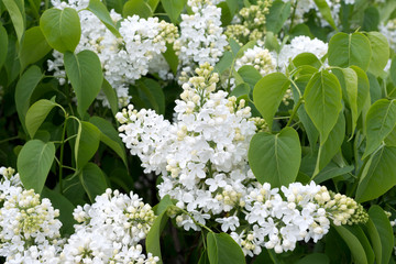 Beautiful white lilac flowers outdoors