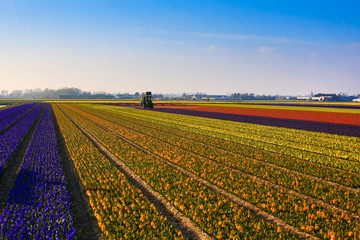 Tulip field with tractor working