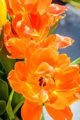 Orange tulip close up