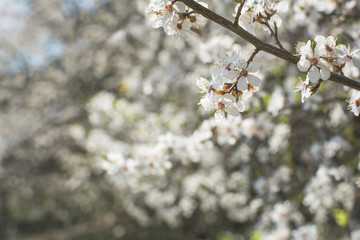 Wild cherry blossom on sunny spring day - background with bokeh blurs.
