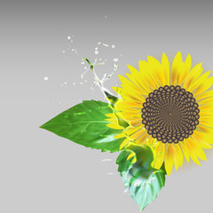sunflower delati flower, green leaves, water drops splatter vect
