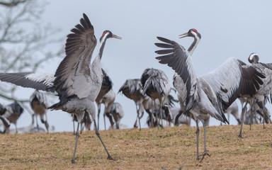 Dance of the common cranes