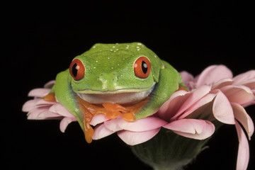Red Eyed Tree Frog on Flower
