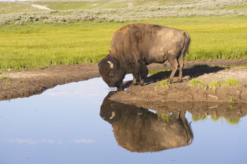 Lone Bison drinking from clear pond in Yellowstone.
