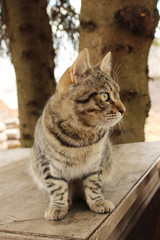 Mudlark yang cat Barsik is sitting on a wooden table near old fir trees, village Nizovskaya, Leningrad region, Russia.