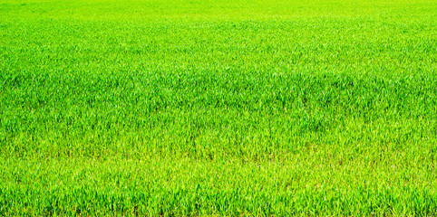 Green spring wheat grass meadow background