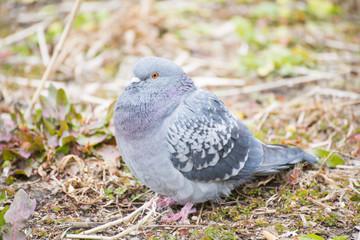 pigeon sitting on a grass