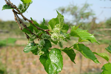Green mulberry fruit