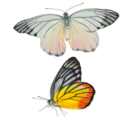 Isolated Painted Jezebel butterfly on white