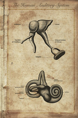 the human auditory system, Parts of the Human Ear, vintage engra