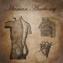 human anatomy, study of the nervous device, heart and respirator
