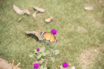 BUTTERFLY COLLECTING NECTAR FROM PURPE FLOWERS