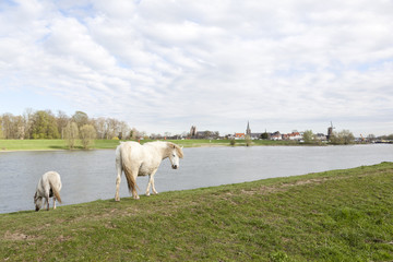 white horses graze on rhine embankment opposite stronghold wijk