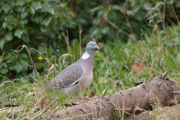 woodpigeon in the wild