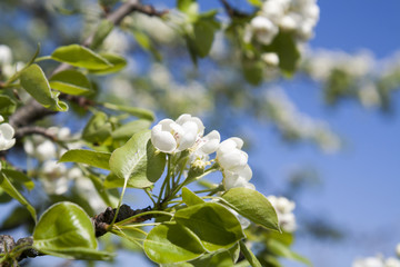 Pear blossom on light blue sky background