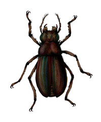 Beetle hand drawn realistic illustration