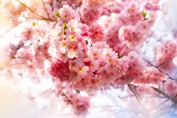 Hanami - Kirschblüte, Kirschbaum blüht mit rosa Blüten im Frühling, Frühlingsgrüße