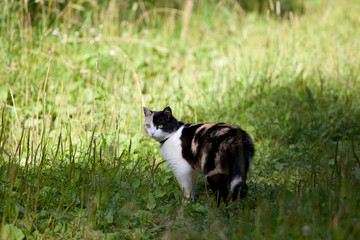 Beautiful calico cat walking grass