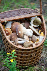 Birch Bolete Mushrooms (Leccinum scabrum) and Boletus edulis  in